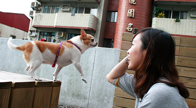 20141025第三場的法國皇家狗狗聚樂部吉娃娃1