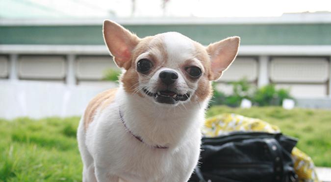 20141025第三場的法國皇家狗狗聚樂部吉娃娃2