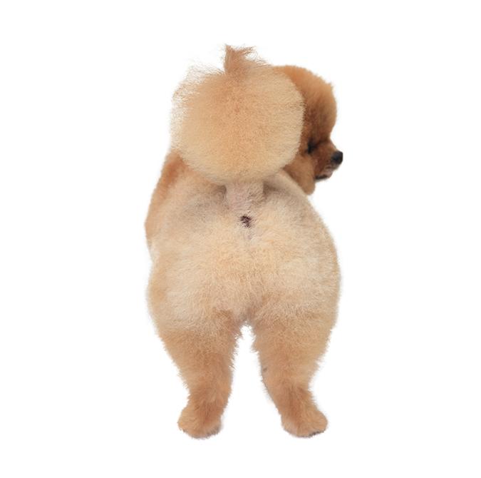 博美犬POMERANIAN熱門造型5364