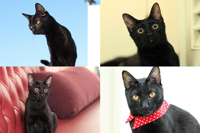 台灣常見貓咪介紹-黑貓