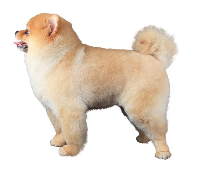 博美犬POMERANIAN熱門造型4190