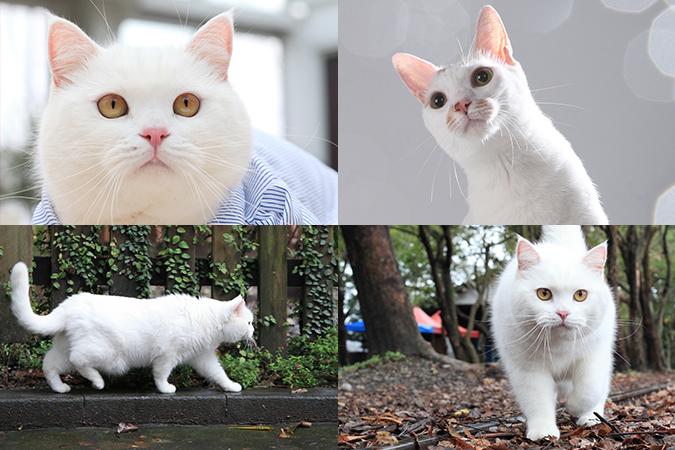 台灣常見貓咪介紹-白貓