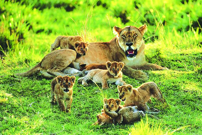 寵物間的行為演化-1007030__lioness-and-cubs-messing-around_p    images.forwallpaper.com: