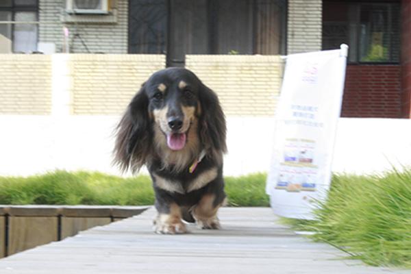 20141025第二場的法國皇家狗狗聚樂部臘腸3