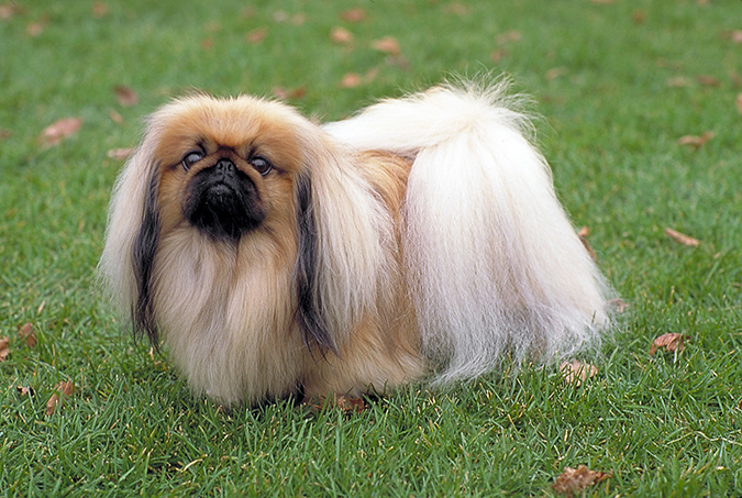 pekingese - dogwallpapers.net
