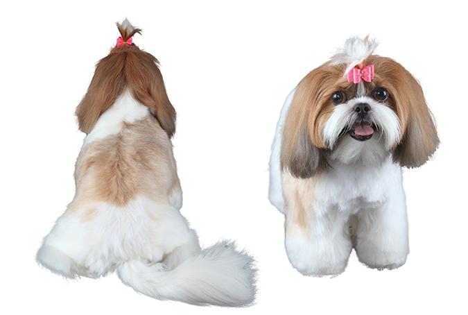美容-西施犬4345