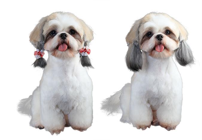美容-西施犬4927