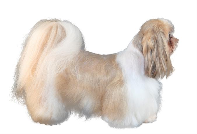 美容-西施犬4678