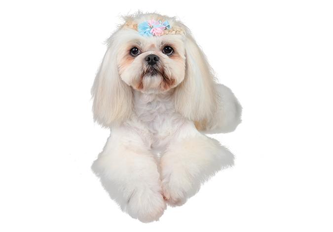 美容-西施犬4870