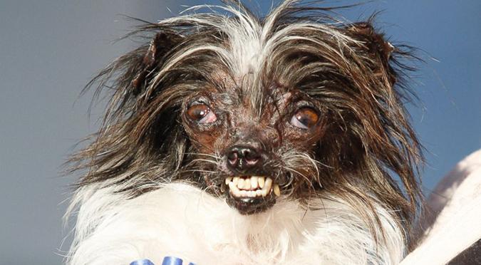 吉娃娃-最醜狗比賽-花生-1