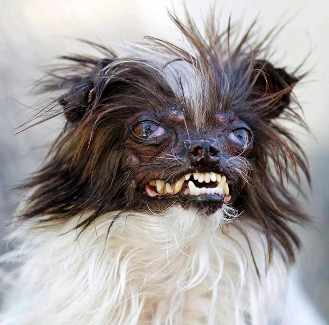 吉娃娃-最醜狗比賽-花生-2
