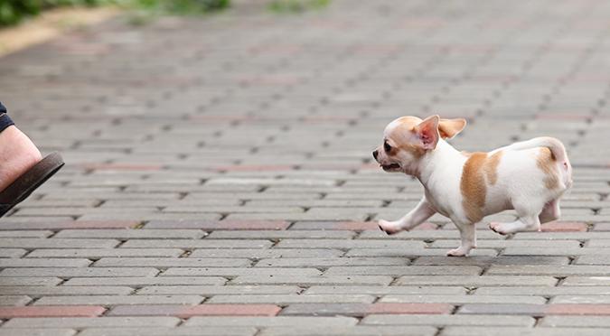 照料吉娃娃小撇步報你知-跑步