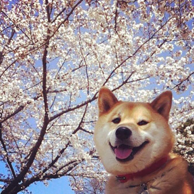 人氣柴犬-丸太郎的主題館-丸太郎-6
