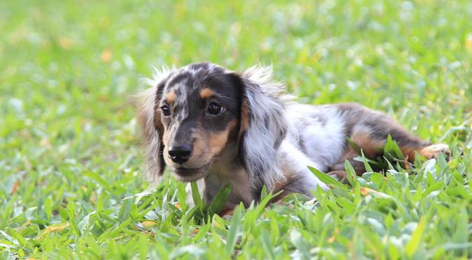 狗主人必看!狗狗的十個營養知識-狗吃草