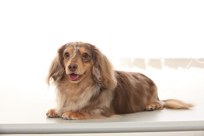 臘腸狗標準體型與特徵-大理石臘腸