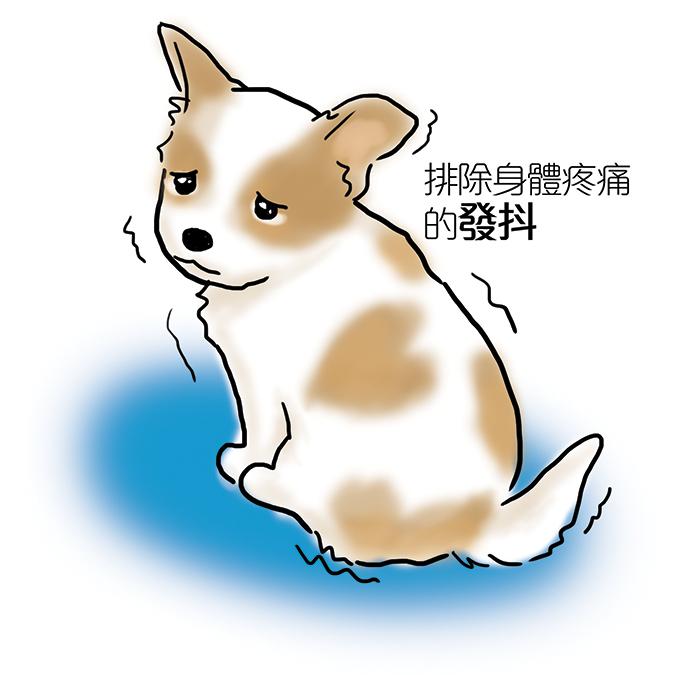 常見狗狗安定訊號-吉娃娃發抖
