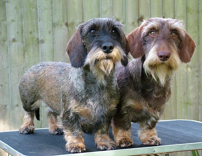 臘腸狗標準體型與特徵-剛毛