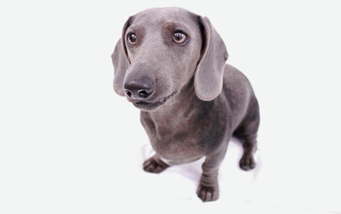 臘腸狗標準體型與特徵-藍色臘腸