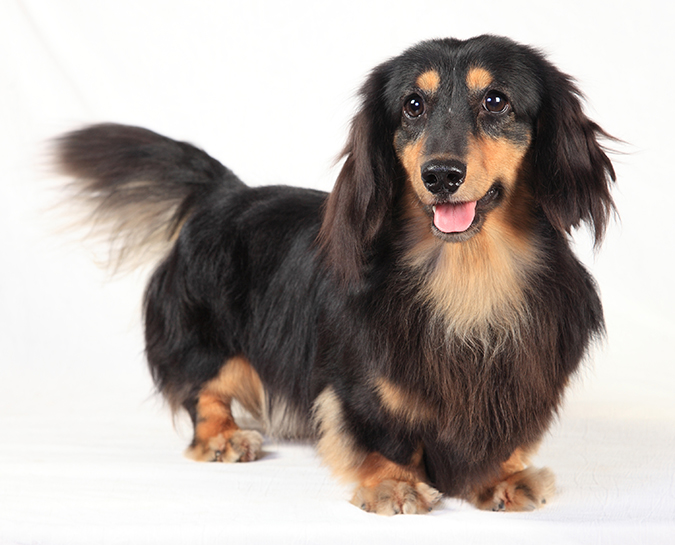 臘腸狗標準體型與特徵-長毛