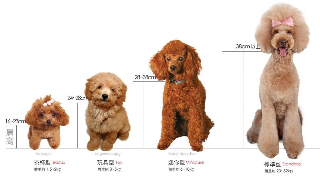 貴賓狗歷史淵源-身高比例