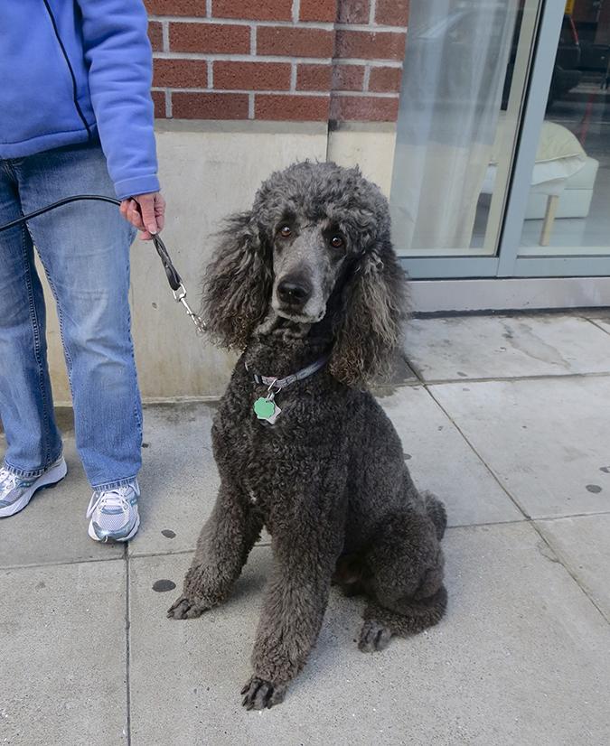 貴賓狗的外觀標準-grey-dogsofsf