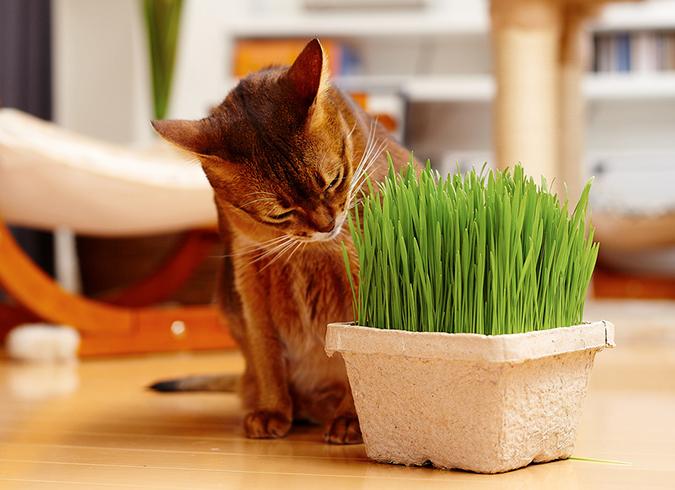 黃阿瑪愛推薦-新鮮貓草