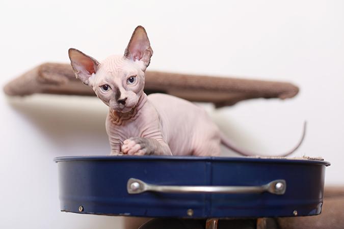 台灣常見品種貓-加拿大無毛貓-sphynx-1