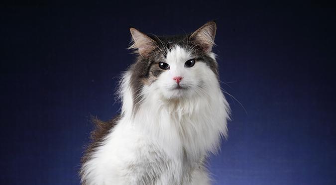 台灣常見品種貓-挪威森林貓-norwegian-forest-1