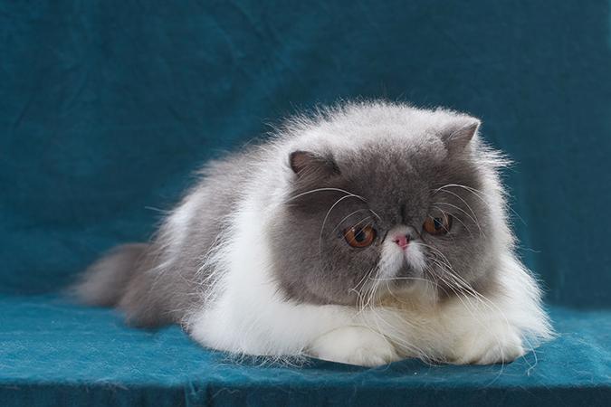 台灣常見品種貓-波斯貓-persian-1