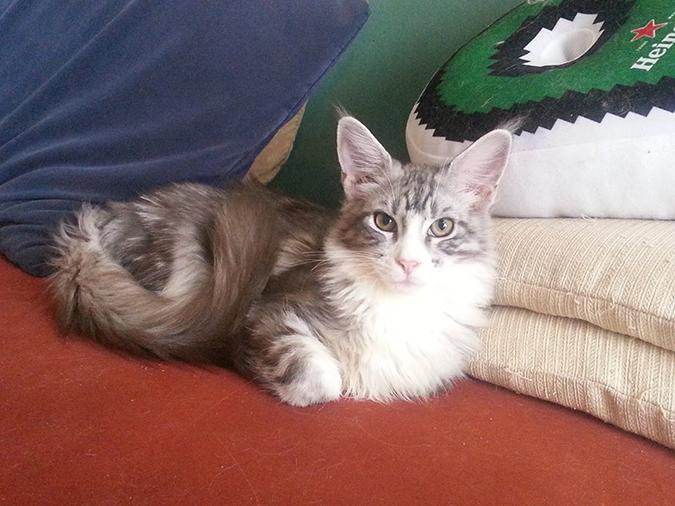 台灣常見品種貓-緬因貓-maine-coon