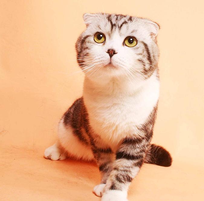 台灣常見品種貓-蘇格蘭折耳貓scottish-fold