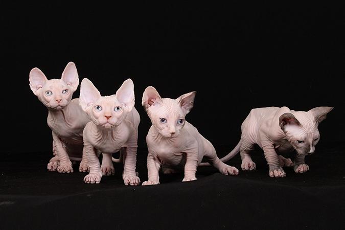 台灣常見品種貓-加拿大無毛貓-sphynx