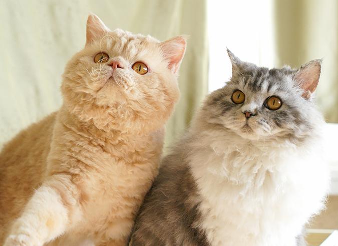 台灣常見品種貓-塞爾凱克捲毛貓-Selkirk-Rex
