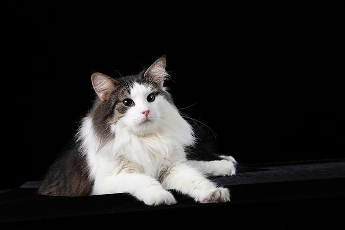 台灣常見品種貓-挪威森林貓-norwegian-forest
