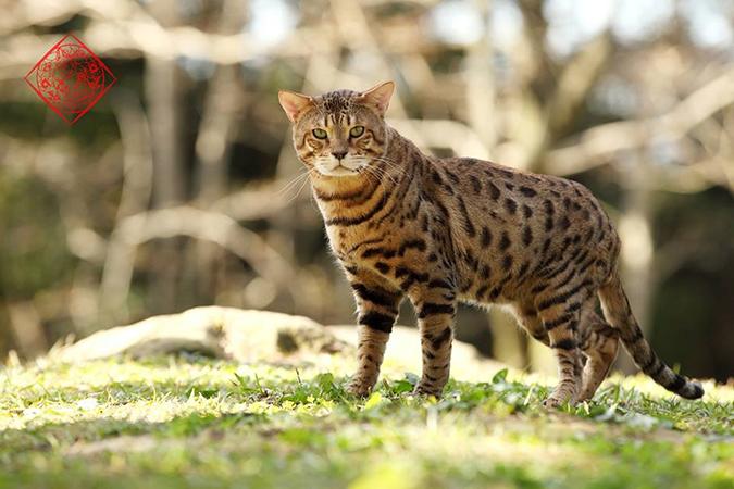 台灣常見品種貓-武當3