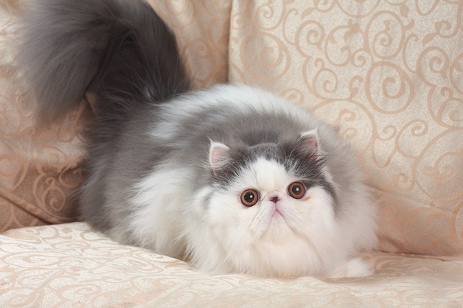 台灣常見品種貓-波斯貓-persian