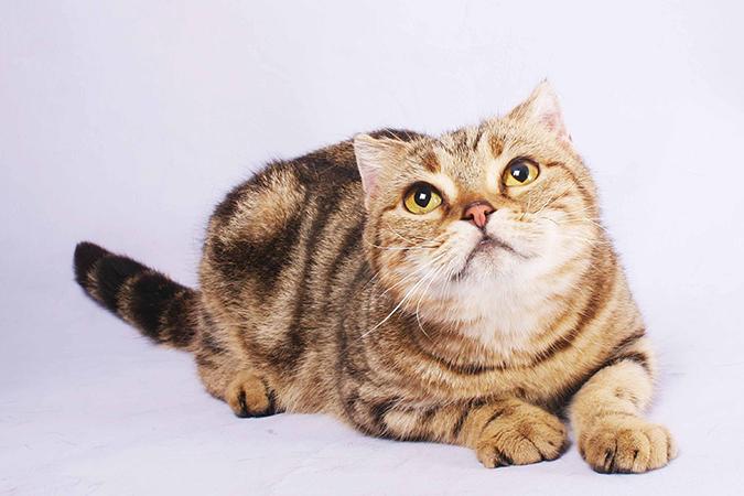 台灣常見品種貓-蘇格蘭折耳貓scottish-fold-1