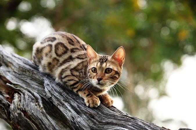 台灣常見品種貓-bengal2