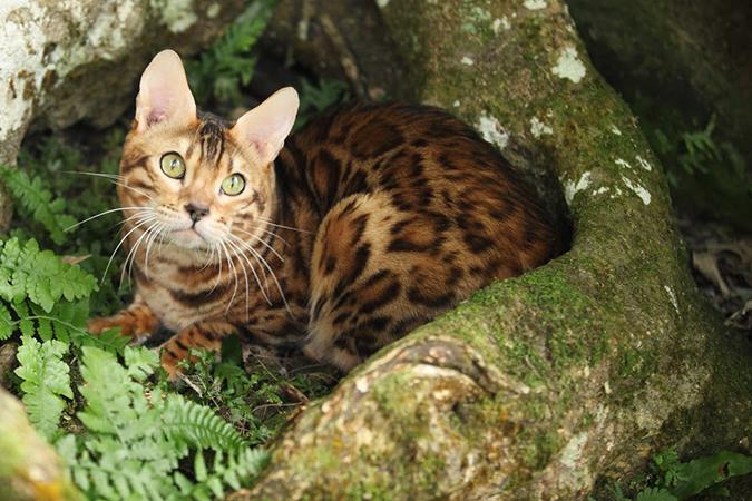 台灣常見品種貓-bengal6