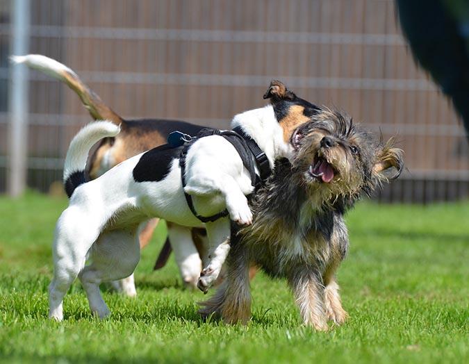 狗狗常見生殖系統疾病-玩耍