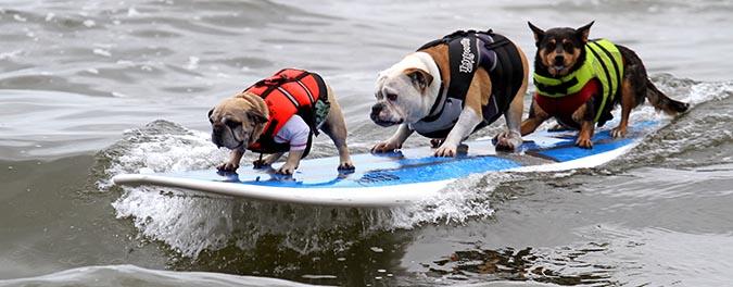 狗狗衝浪1-surfcitysurfdog-com
