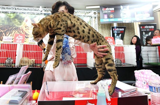 貓模選拔大賽-審貓003