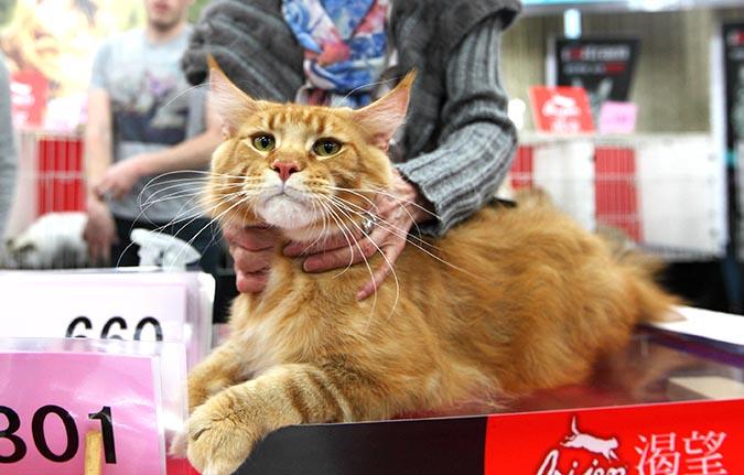 貓模選拔大賽-審貓004