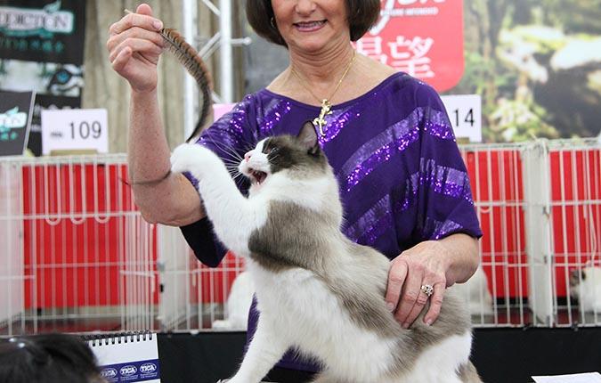 貓模選拔大賽-逗貓棒