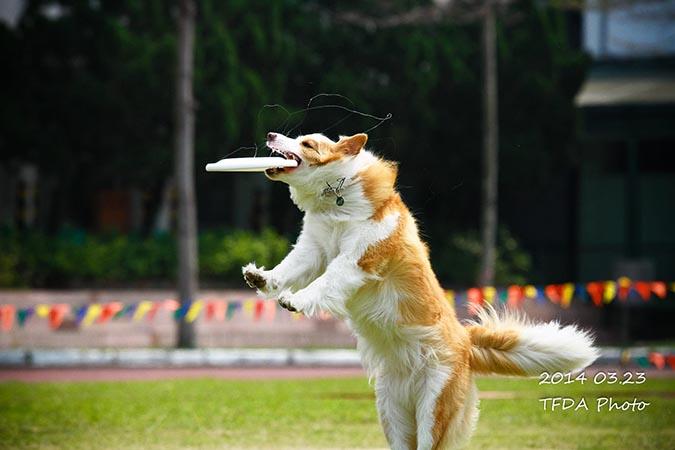 飛盤狗大賽-攝影姜駿憲-5