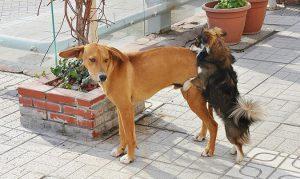 狗狗常見生殖系統疾病-騎乘動作