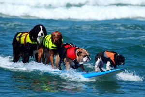 狗狗衝浪3-www-socalsurfdogs-com