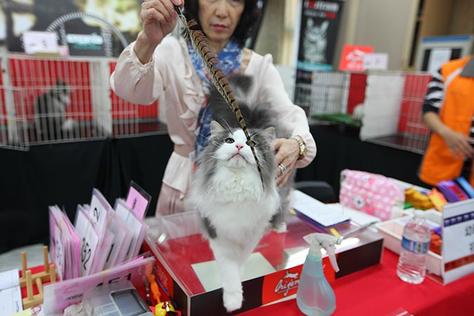 貓模選拔大賽-貓咪們看到逗貓棒都忍不住玩了起來