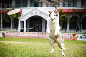 飛盤狗大賽-攝影姜駿憲-2