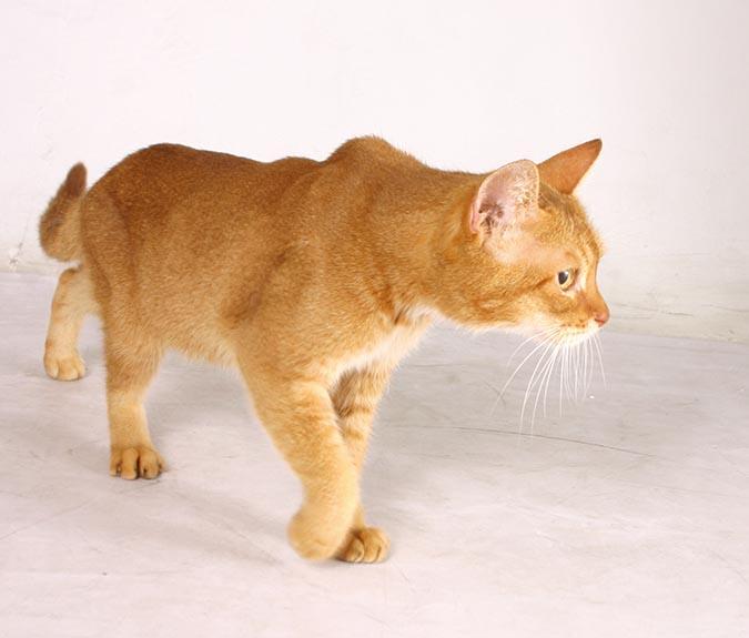 古埃及法老王的聖貓-阿比西尼亞-abyssinian-1